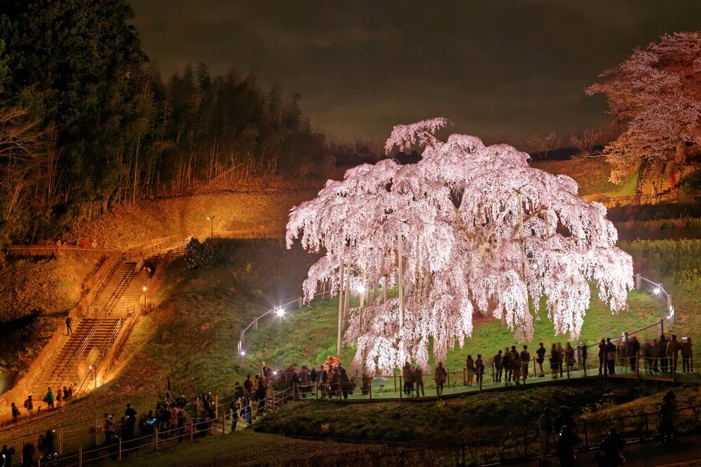 The Cherry Trees of Fukushima