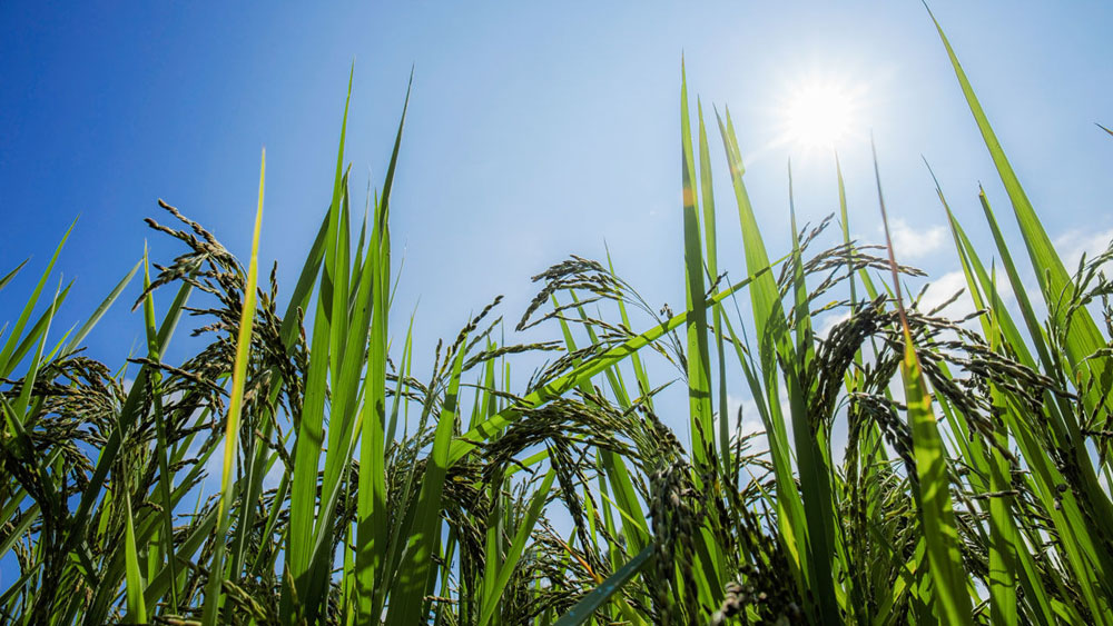 Rice Genetically Engineered to Resist Heat Waves Can also Produce Up to 20% More Grain
